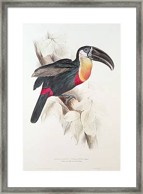 Toucan Framed Print by Edward Lear