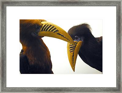 Toucan Play At That Game Framed Print by Jez C Self