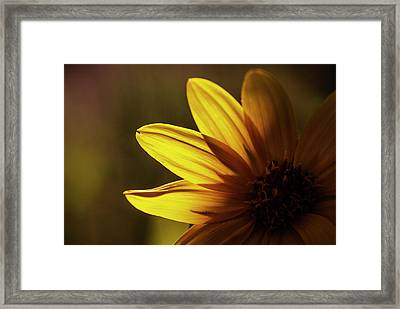 Touch Of Light On Sunflower Framed Print by Vishwanath Bhat