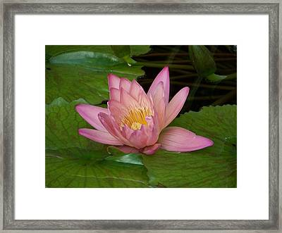 Touch Of Pink Framed Print by Karen Wiles