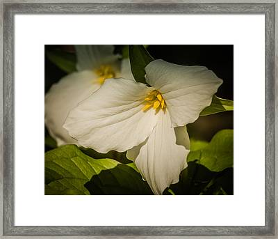 Touched By A Trillium Framed Print