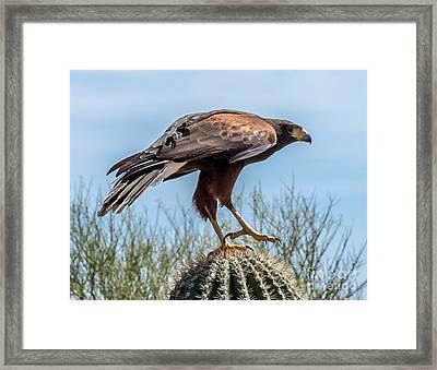 Tough Feet - Desert Hawk Framed Print by Leo Bounds