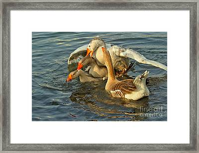 Toulouse Goose Clusterduck Framed Print