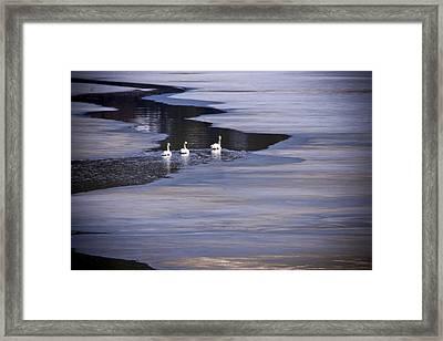 Tourist Swans Framed Print