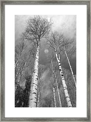 Towering Aspen Trees In Black And White Framed Print by James BO  Insogna