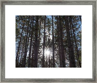 Towering Pines Framed Print