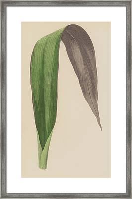 Tradescantia Odoratissima Framed Print by English School