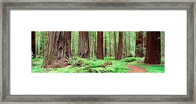 Trail, Avenue Of The Giants, Founders Framed Print