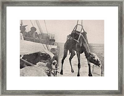 Transferring Camel From Ship To Land In Framed Print