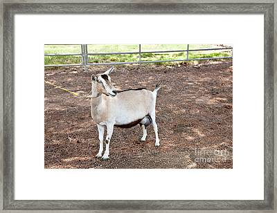 Transgenic Goat, Alpine Breed Framed Print by Inga Spence