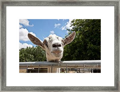 Transgenic Goat Peering Over Fence Framed Print by Inga Spence