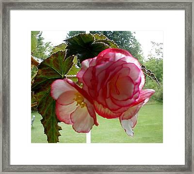 Translucent Begonia Framed Print