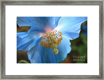 Translucent Blue Poppy Framed Print by Carol Groenen