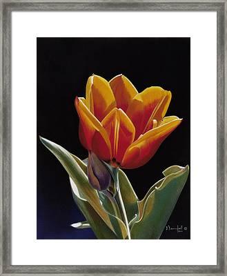 Translucent Tulip Framed Print