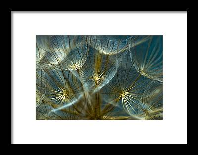 Dandelion Framed Prints
