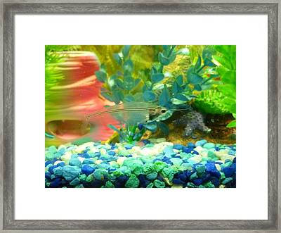 Transparent Catfish Framed Print by Barbara Yearty
