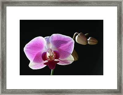 Transparent Pink Orchid Framed Print