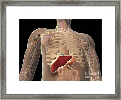 Transparent View Of Human Torso Showing Framed Print by Stocktrek Images