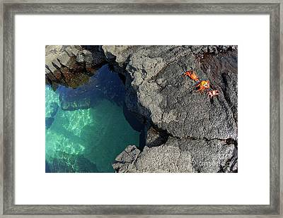Transparent Waters And Volcanic Rocks With Sally Lightfoot Crabs Framed Print by Sami Sarkis