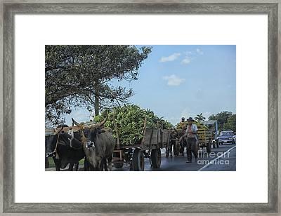 Transporting Bananas In Cuba Framed Print
