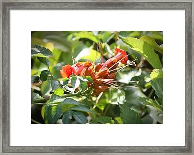 Tropical Trumpet Creeper Framed Print