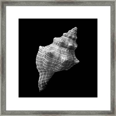 Trapezium Horse Conch Sea Shell Framed Print