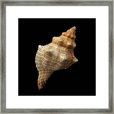 Framed Print featuring the photograph Trapezium Horse Conch Shell by Jim Hughes