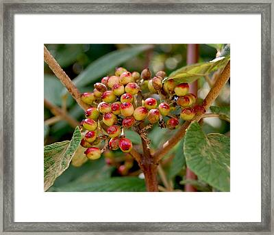Tree Berries Framed Print by Lauren  Macko