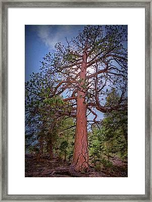 Tree Cali Framed Print