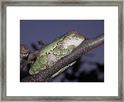 Tree Frog Branch By Dac Framed Print by Damien Crowe