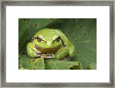 Tree Frog En Face Framed Print by Roeselien Raimond