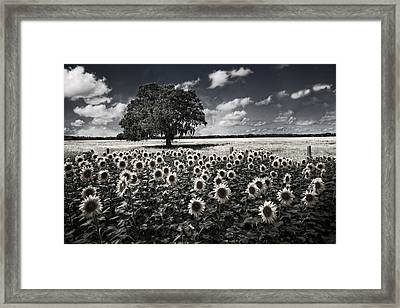 Tree In The Sunflower Field Black And White Framed Print
