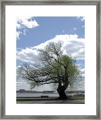 Tree On G Street South Boston Ma Framed Print