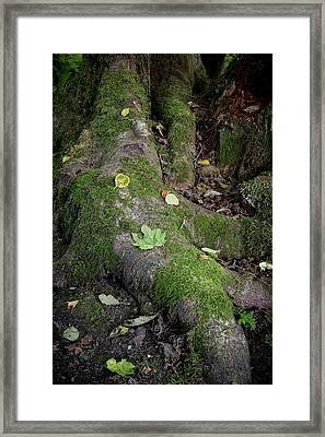Tree Roots On Forest Floor Framed Print