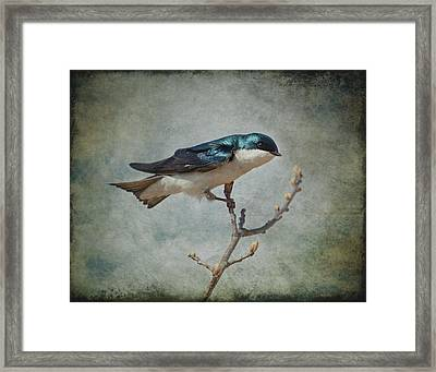 Tree Swallow Framed Print