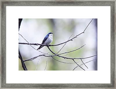 Tree Swallow Framed Print by David Yunker
