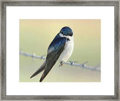 Framed Print featuring the photograph Tree Swallow by Jennie Marie Schell