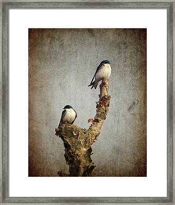 Tree Swallows Framed Print
