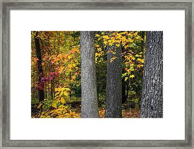 Tree Trunks In Autumn Framed Print