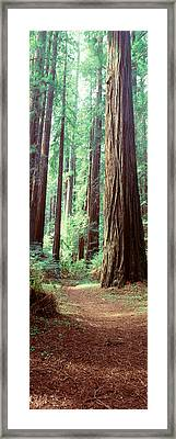 Trees Redwood St Park Humbolt Co Ca Usa Framed Print