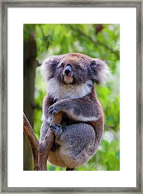 Treetop Koala Framed Print by Mike  Dawson