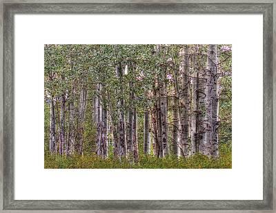 Trembling Aspens Framed Print by Naman Imagery