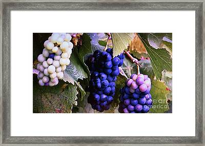 Tri-color Grapes Framed Print by Linda Phelps