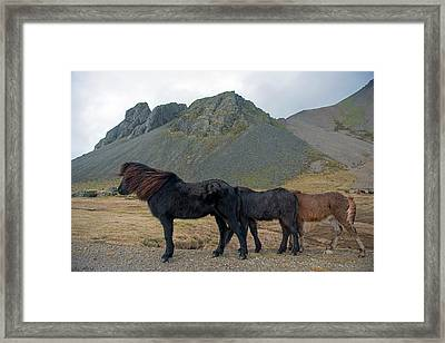 Framed Print featuring the photograph Tri - Color Icelandic Horses by Dubi Roman
