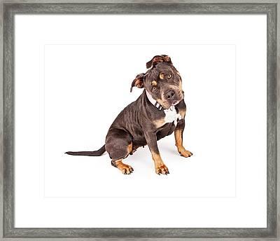 Tri Color Pit Bull Dog Tilting Head Framed Print