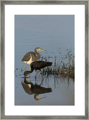 Tri-colored Heron And Glossy Ibis Framed Print