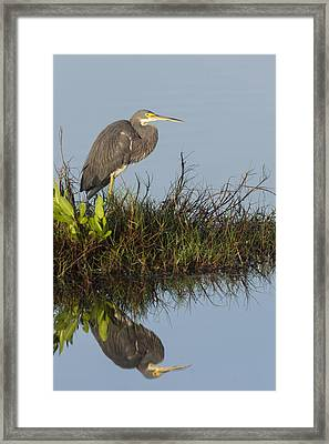 Tri-colored Heron And Reflection Framed Print