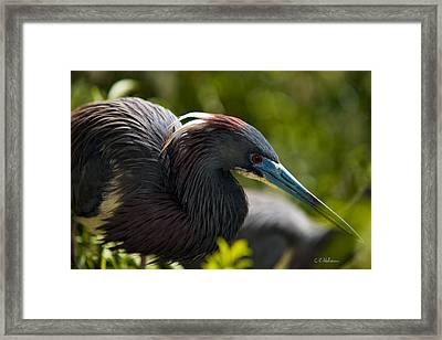 Tri-colored Heron Framed Print by Christopher Holmes