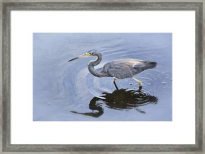 Tri-colored Heron Fishing  Framed Print