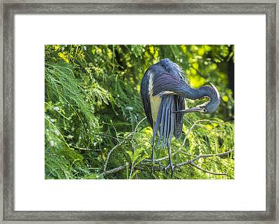 Framed Print featuring the photograph Tri-colored Heron Grooming by Paula Porterfield-Izzo